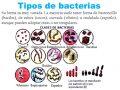 ¿Qué son las bacterias en el reino mónera?