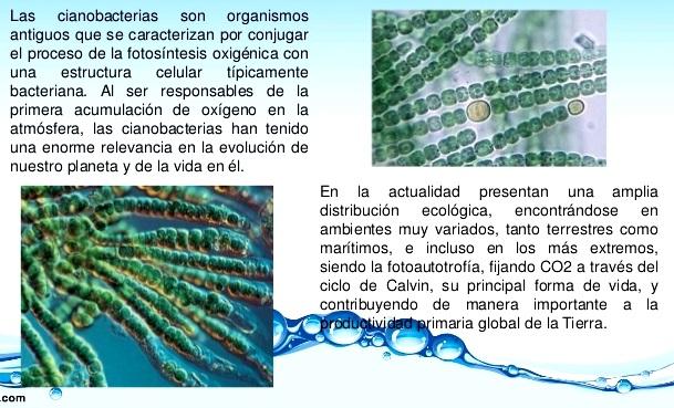 ¿Qué son las cianobacterias en el reino mónera?